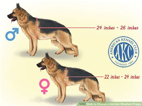 how to a german shepherd like a how to choose a german shepherd puppy with pictures wikihow