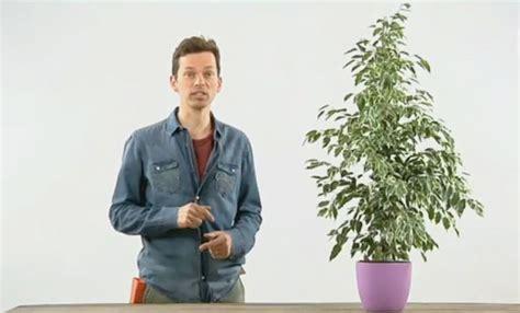 Ficus Benjamin Come Curarlo by Ficus Benjamin Come Curarlo E Innaffiarlo Per Farlo Stare