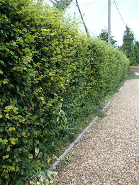 Garten Gestalten Hecken by Heckenpflanzen Ausw 228 Hlen Und Eine Sch 246 Ne Hecke Gestalten