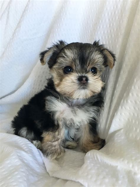 morkie puppies for sale in california tiny teacup morkie puppy for sale california winnie iheartteacups