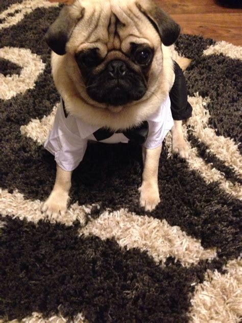 rehome a pug pug to rehome bournemouth dorset pets4homes