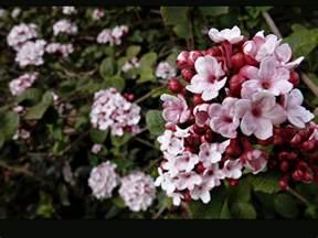 scented flowering shrubs fragrant flowering shrub photo image plants