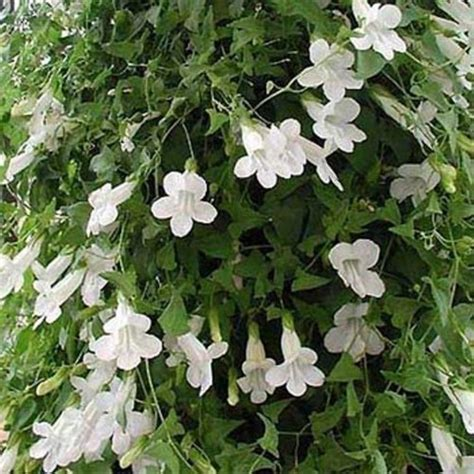 climbing snapdragon asarina scandens white perennial - Perennial Climbing Plants With Flowers