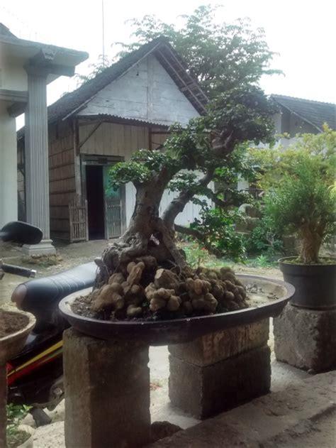 jual bonsai serut  lapak mohammad rifqi nashoruddin den