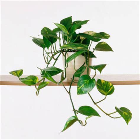 in door plant put in pot vide devil s epipremnum common house plants sunset