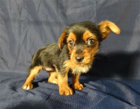 terrier yorkie mix torkie fox terrier x yorkie mix info temperament puppies pictures