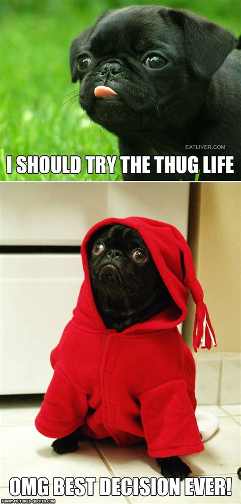 pug pics with quotes even pug s wanna try the thug pictures and quotes