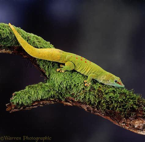 Madagascar Day Gecko photo - WP06706