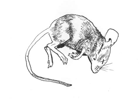 Dead Rat Coloring Page | dead mouse coloring pages