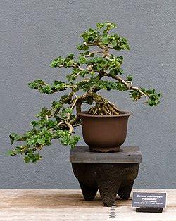 bonsai wikipedias bonsai  translated  gramtrans