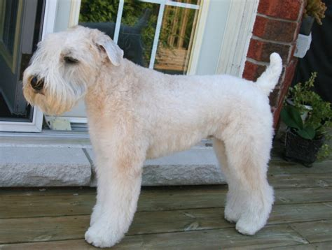 wheaten terrier bad haircuts pictures of wheaten terrier haircuts pictures of wheaten