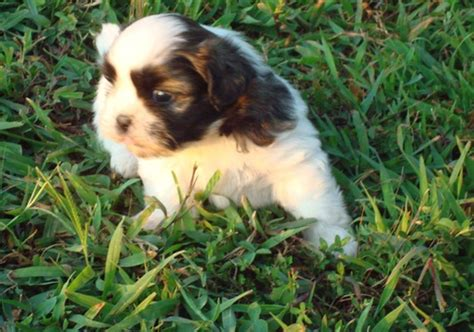 yorkie puppies for sale in alexandria la pets alexandria la free classified ads