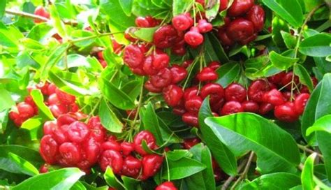Harga Bibit Jambu Air Cincalo jambu cincalo merah images about jambucincalo on instagram
