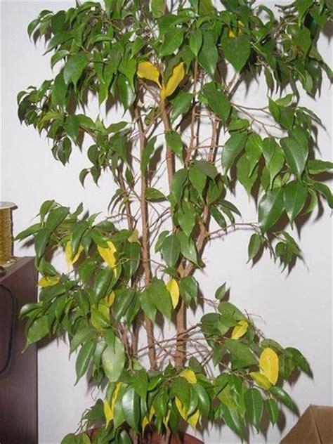 ficus planta interior plantas de interior ficus benjamina