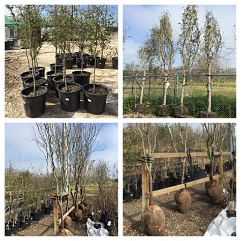 fruit trees bay area tree nursery bay area thenurseries