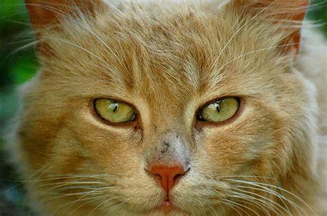 alimentazione gatto anziano l alimentazione gatto anziano come bilanciare i