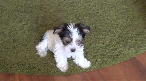 biewer terrier puppies biewer terrier informational center biewer biewer terriers