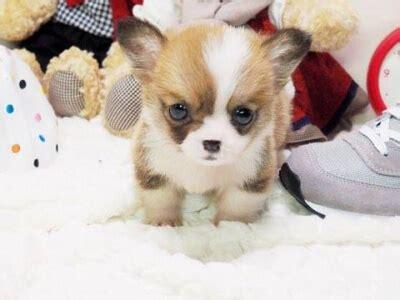 teacup corgi puppies for sale posh pocket pups pocket puppies teacup dogs for sale designer puppies 1