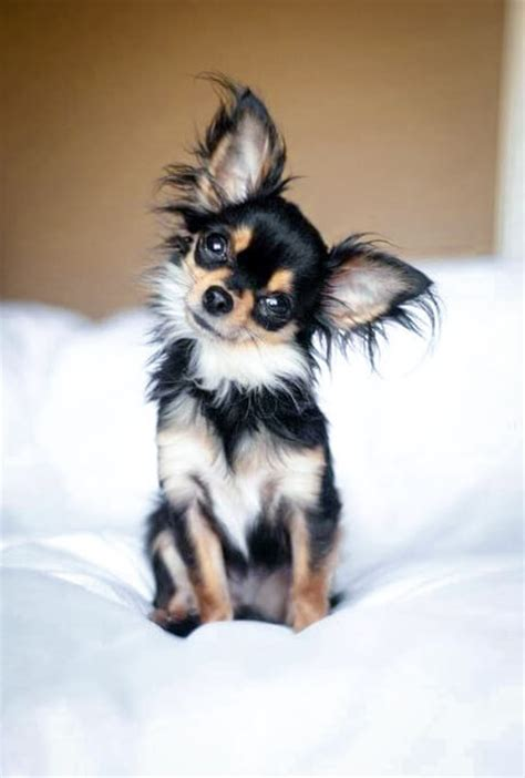 haired chihuahua puppy chihuahua puppies types temperament how to s