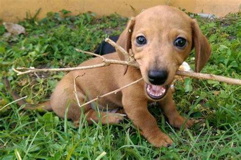 free miniature dachshund puppies floridachs miniature dachshunds largo fl 33771