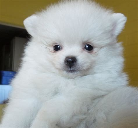 pomeranian puppies white white pomerainian puppies pomeranian puppies 2 breeds picture