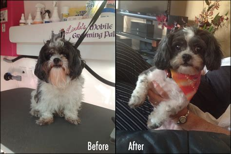 shih tzu haircuts before and after photos shih tzu grooming before and after blog linda s grooming