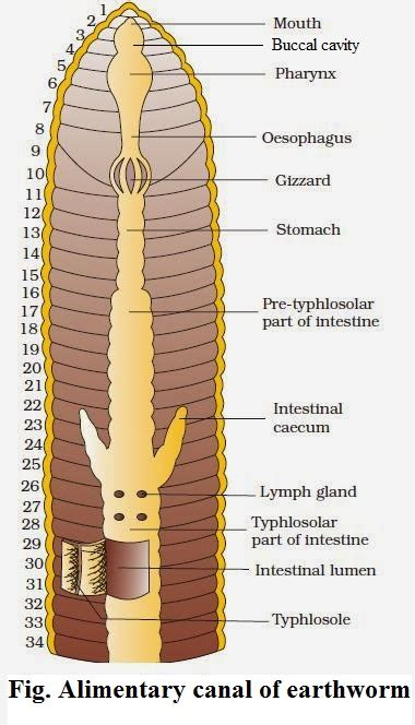 earthworm digestive parts explain alimentary canal ofearthworm 11568715