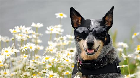 dogs wallpapers full hd 1080p best hd dogs wallpapers gg yan full hd wallpaper glasses dog daisy amusing desktop