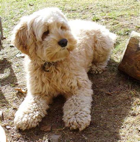 do havanese shed a lot top 15 breeds that do not shed much easyday