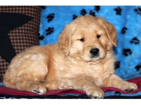 golden retriever breeders in nj and pa golden retriever puppies for sale
