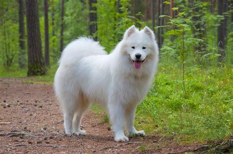 samoyed colors how much grooming does a samoyed need pets4homes
