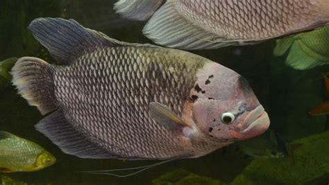 Benih Ikan Gurame Di Aceh teknik budidaya ikan gurame garnesia