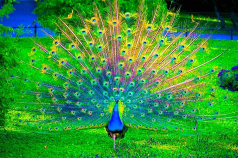 wallpaper computer hd download desktop hd wallpapers free downloads peacock bird hd