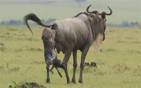baby wildebeest birth of a baby wildebeest masai mara kenya africa world