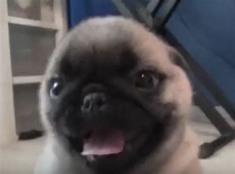 pug attacks baby pug puppy totally spazzes out and attacks this is something you can t