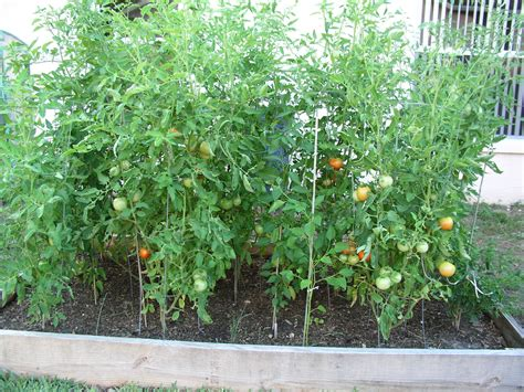 Planter Size For Tomatoes by Florida Raised Beds Gardens Growin Acres