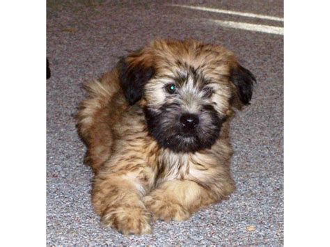 soft coated wheaten terrier puppies for sale puppies for sale soft coated wheaten terrier soft coated wheaten terriers wheatens
