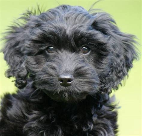 cockapoo puppies indiana breeders view advert top quality f1 cockapoo puppies in scotland