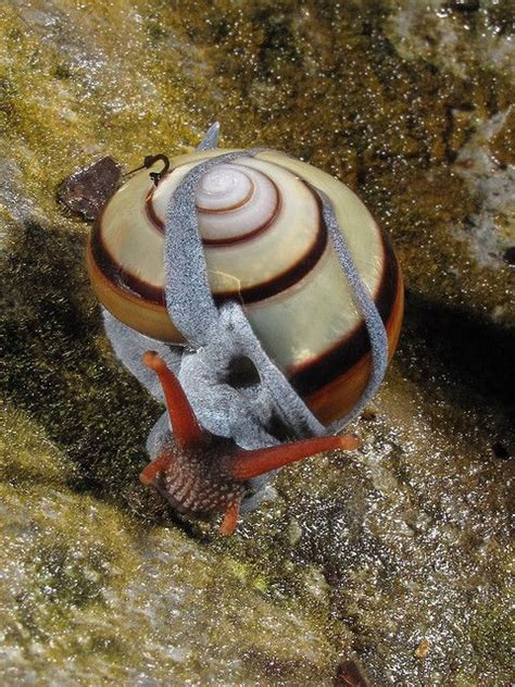 terrestrial snail pictures about animals 42 best images about snails on pinterest garden snail
