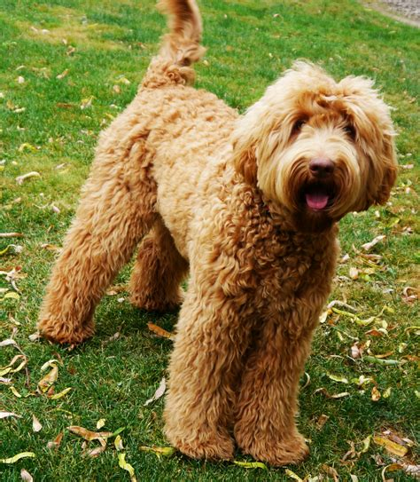 pictures of labradoodle puppies labradoodle