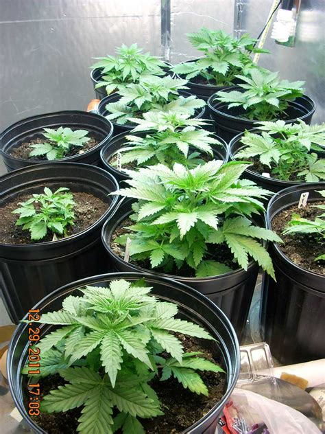 plants that grow in rooms how many plants to maximize grow space grow easy
