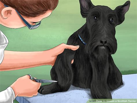 different ways to groom a scottish terrier 4 ways to groom a scottish terrier wikihow