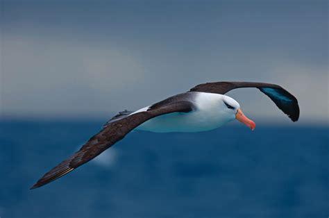 1200x816px albatross 146 75 kb 176067