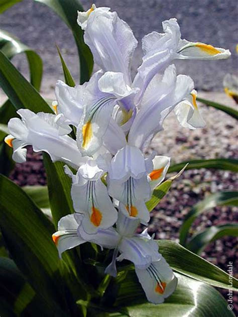 pacific bulb society juno irises