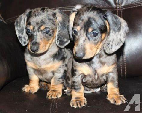 dapple dachshund puppies for sale 25 best ideas about dachshund puppies for sale on daschund puppies for