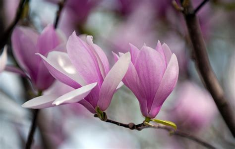 magnolia wallpaper magnolia flowers hd wallpaper 2015