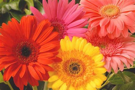 fiore gerbera gerbera piante appartamento