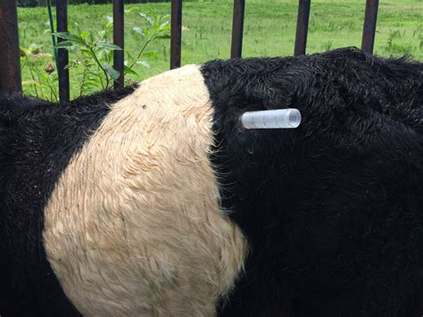 bloat treatment turkey injector being used to relieve bloat in a cow