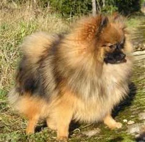 pomeranian age age of a pomeranian equivalency and maturity chart