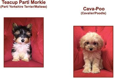 pocket puppies chicago despite city puppy mill ban lincoln park shop is selling purebred pups lincoln park
